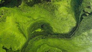 Alga tóxica verde azuladas
